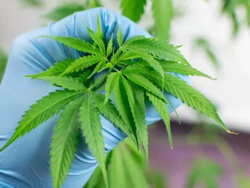 Corona Virus Impact On The Marijuana Industry